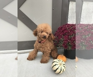 Father of the Goldendoodle puppies born on 09/20/2020