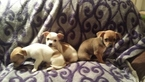 Chihuahua Puppy For Sale in APOPKA, FL