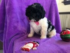 Poovanese Puppy For Sale in EAST EARL, PA, USA
