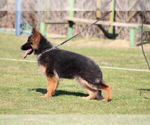 German Shepherd Dog Puppy for sale in Gevgelija, Gevgelija, Macedonia
