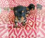 Puppy 2 Silky Terrier