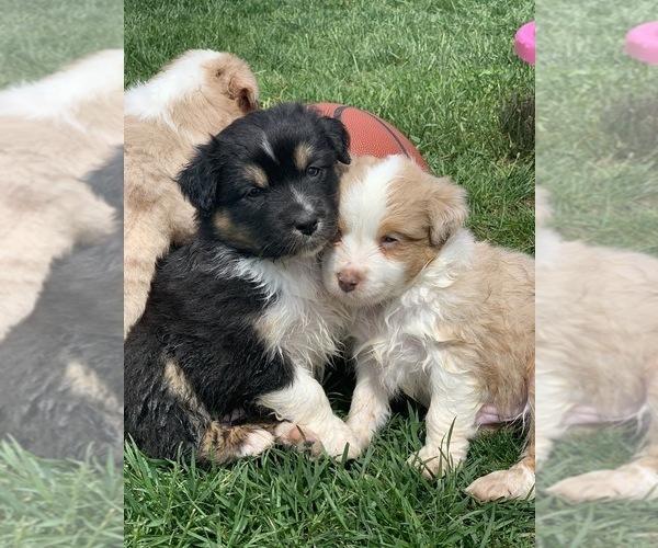 Medium Photo #11 Australian Shepherd Puppy For Sale in CARMEL, IN, USA