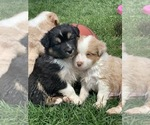 Small Photo #11 Australian Shepherd Puppy For Sale in CARMEL, IN, USA