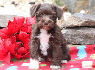 Schnauzer (Miniature) Puppy For Sale in MOUNT JOY, PA, USA