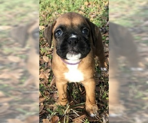 Boxer Puppy For Sale in FLEMING ISLAND, FL, USA