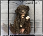 Puppy 5 Poodle (Miniature)-Yorkiepoo Mix