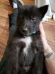 Wolf Hybrid Puppy For Sale in RED OAK, IA, USA