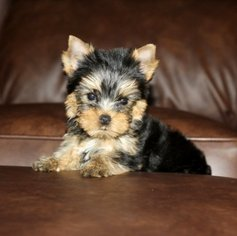 Yorkshire Terrier Dog For Adoption in NORWAY, ME, USA