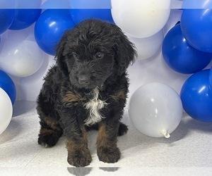Aussiedoodle Miniature  Puppy for Sale in HICKSVILLE, Ohio USA