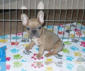 French Bulldog Dog for Adoption in ORO VALLEY, Arizona USA