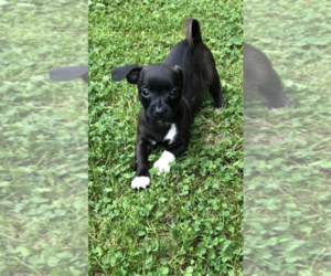 Chihuahua Mix Dog for Adoption in BECKLEY, West Virginia USA
