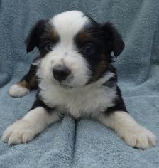 Australian Shepherd Puppy for sale in EATONVILLE, WA, USA