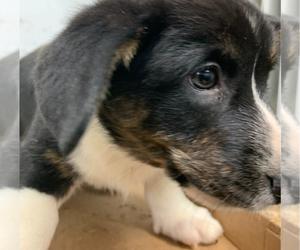 Cardigan Welsh Corgi Puppy for sale in ARCADIA, FL, USA