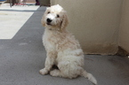 Goldendoodle Puppy For Sale in GLENDALE, AZ, USA