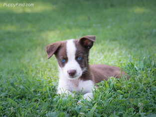 View Ad: Border Collie-Siberian Husky Mix Litter of ...