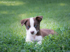 Border Collie-Siberian Husky Mix Puppy For Sale in TASWELL, IN, USA