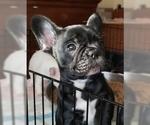 Small Photo #1 French Bulldog Puppy For Sale in CAPE CORAL, FL, USA