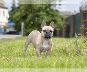 Mother of the French Bulldog puppies born on 03/24/2021