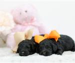 Small #1 Irish Setter-Poodle (Toy) Mix