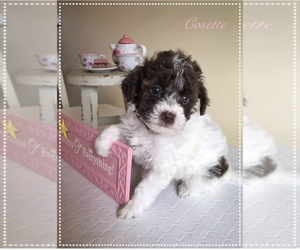 YorkiePoo Puppy for Sale in BURKESVILLE, Kentucky USA