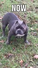 American Bully Puppy For Sale in OCALA, FL, USA