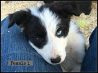 Border Collie Puppy For Sale in WHITE SALMON, WA,