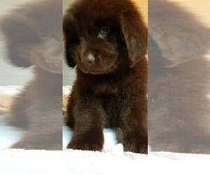 Newfoundland Puppy for sale in OMAHA, NE, USA