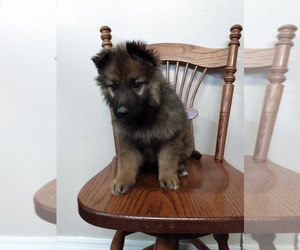 German Shepherd Dog Puppy for sale in COUCH, MO, USA