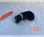 Puppy 5 Bordoodle