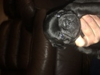 French Bulldog Puppy For Sale in O FALLON, IL, USA