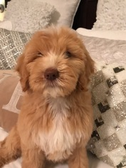 Goldendoodle Puppy For Sale in SAN ANTONIO, TX