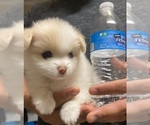 Small Photo #1 Pomeranian Puppy For Sale in SAN JOSE, CA, USA