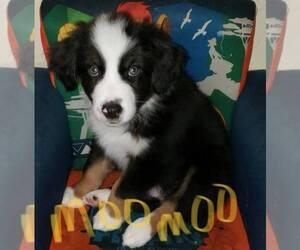 Australian Shepherd Puppy for sale in RICHMOND, KY, USA