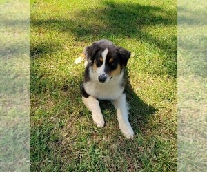 Australian Shepherd Puppy for sale in ALBANY, GA, USA