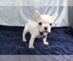 Small Photo #4 French Bulldog Puppy For Sale in HOUSTON, TX, USA