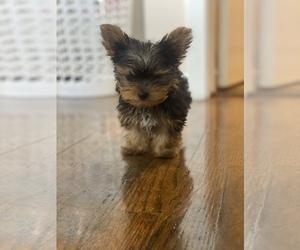 Medium Yorkshire Terrier