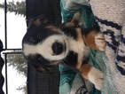 Border Collie-Mc Nab Mix Puppy For Sale in COLTON, OR