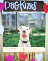 Brave Heart - American Staffordshire Terrier / Mixed (short coat) Dog For Adoption