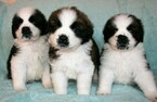 Saint Bernard Puppy For Sale in LAKESIDE, CA, USA