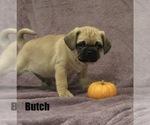 Puppy 1 Puggle