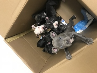 American Pit Bull Terrier Puppy For Sale in IRVING, TX, USA