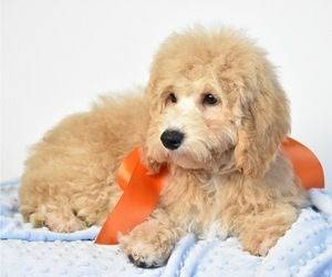Goldendoodle (Miniature) Puppy for Sale in SPRING BRANCH, Texas USA