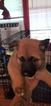 Akita Puppy For Sale in BROOKSIDE, PA, USA