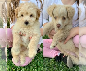Goldendoodle Puppy for sale in SAN DIMAS, CA, USA