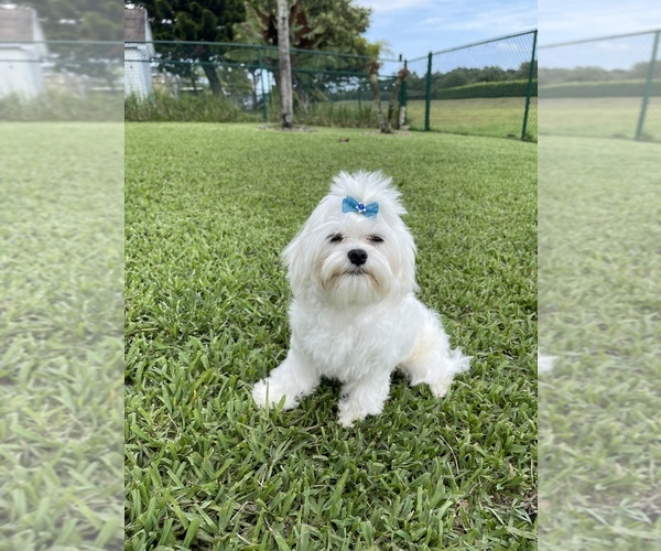 Medium Photo #2 Maltese Puppy For Sale in BOCA RATON, FL, USA