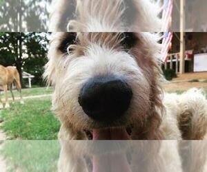 Irish Wolfhound Puppy for sale in BURLESON, TX, USA