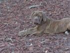 Neapolitan Mastiff Puppy For Sale in BRANDON, FL, USA