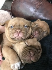 Gorgeous full blood French Mastiff puppies