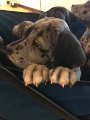 Great Dane Puppy For Sale in FORT LUPTON, CO