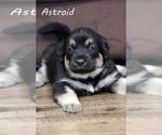 Puppy 6 Anatolian Shepherd-Great Pyrenees Mix